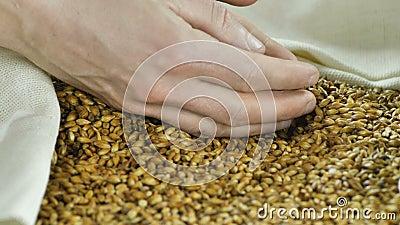 En bonde rymmer i hans händer naturligt, och användbar malt som gör att tillverka öl eller whisky, hällde in i fps för påse en 4k lager videofilmer