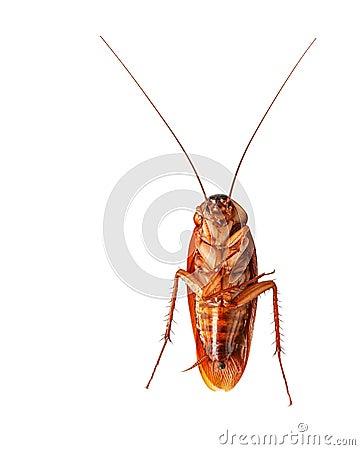 En död kackerlacka som isoleras på vitbakgrund