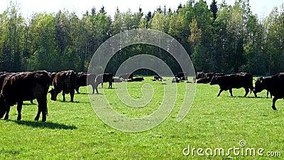 En flock av kor föder upp svarta Angus som betar i ett grönt fält lager videofilmer