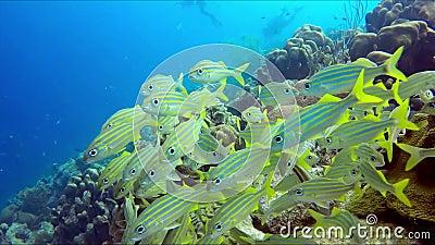 En flock av en liten gul fisk arkivfilmer
