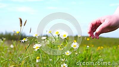 En kvinna plockar en tusenskönablomma stock video