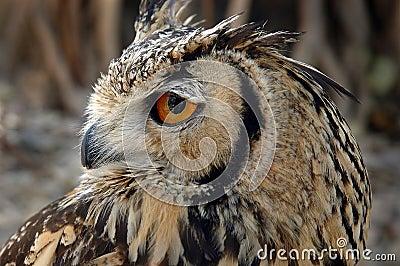 En Owl