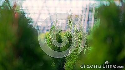 En primer plano, las camisetas de los thuja se mecen en el viento, al sol jugoso thuja verde vivero ornamental evergreen crecient almacen de video
