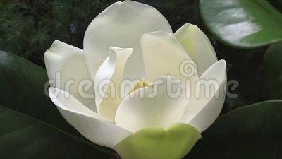 En stor, grå vit sydmagnolia Magnolia Grandiflora blommar nära trädet lager videofilmer