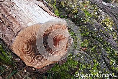 End Cut Log laying on bark
