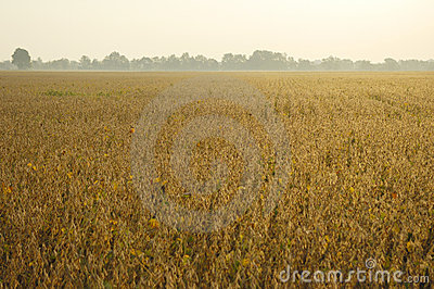 End-of-season Soybeans