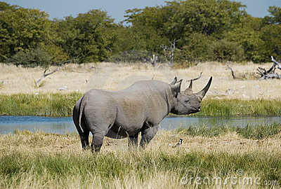 Endangered African Black Rhino Stock Photography - Image: 14785542
