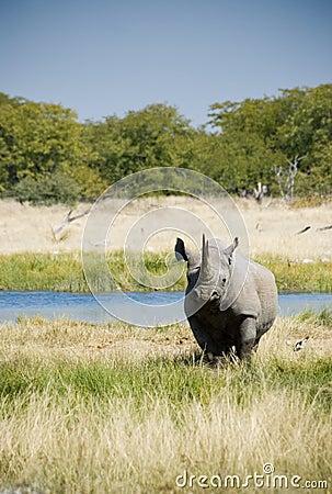 Endangered African Black Rhino