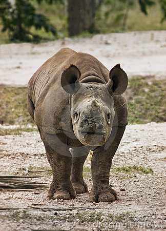 Endangered Baby Black Rhino