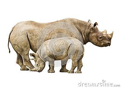Endangered Black Rhinoceros