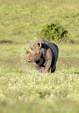 Endangered Black Rhinoceros in South Africa