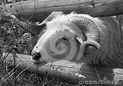 Endangered breed Wallachian sheep