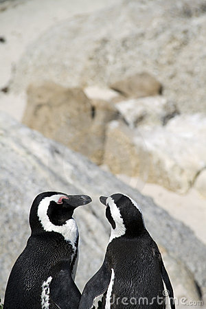 Endangered Cape penguins