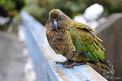 Endangered curious kea