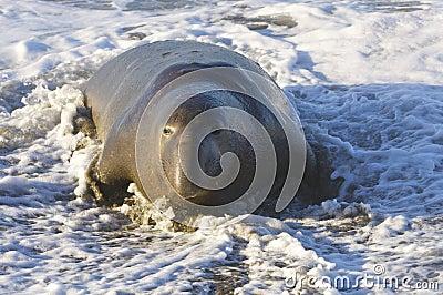 Endangered Elephant Seal