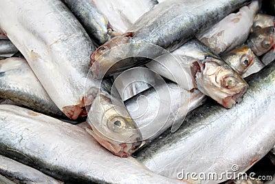 Endangered freshwater Bacha fish of Southeast Asia