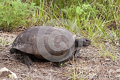 Endangered Gopher Tortoise