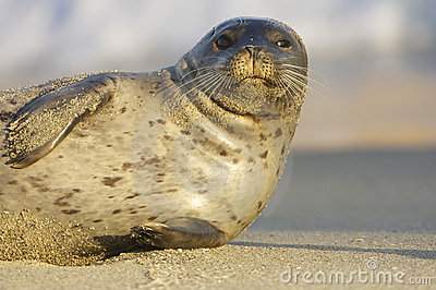 Endangered Harbor Seal
