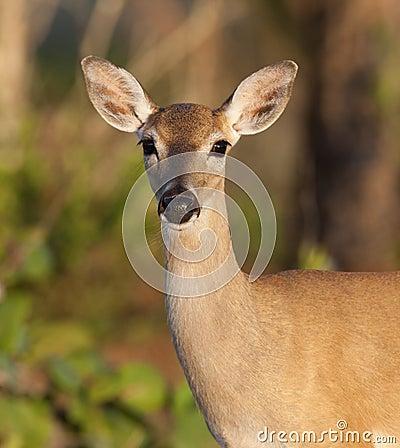 Endangered Key Deer