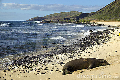 Endangered Monk Seal, Oahu Hawaii