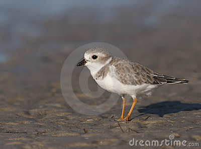 Endangered Piping Plover
