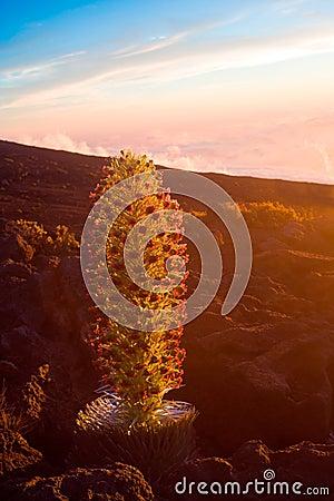 Endangered plant silversword