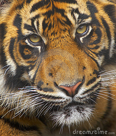 Free Endangered Sumatran Tiger Royalty Free Stock Photos - 2411878