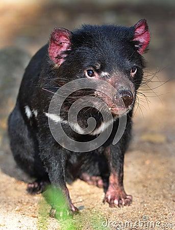 Endangered tasmanian devil