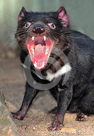 Endangered tasmanian devil