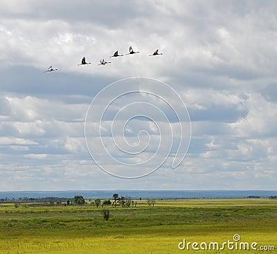 Endangered White-naped Cranes