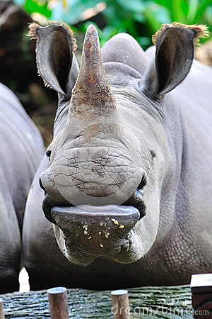 Endangered white rhinoceros