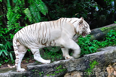 Endangered white tiger