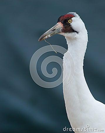 Endangered Whooping Crane, Grus americana