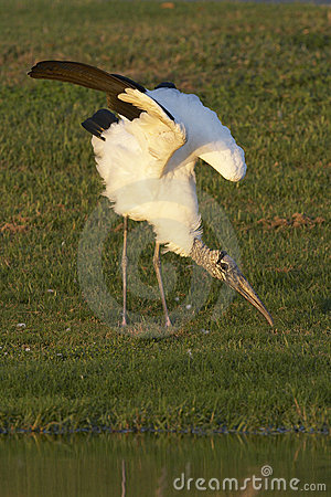 Endangered Wood Stork wing stretch