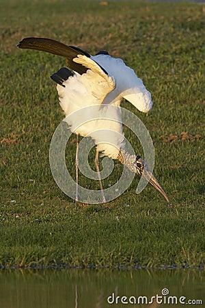 Endangered Wood Stork wing stretch