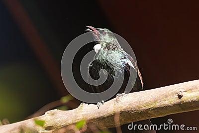 Endemic New Zealand Bird Tui