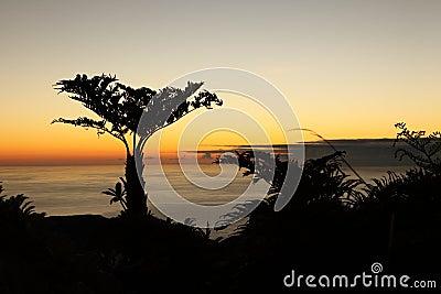 Endemic Tree ferns at dawn on St Helena Island