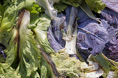 Endive and cabbage leaves