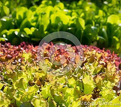 Endive lettuce vegetables sprouts textures