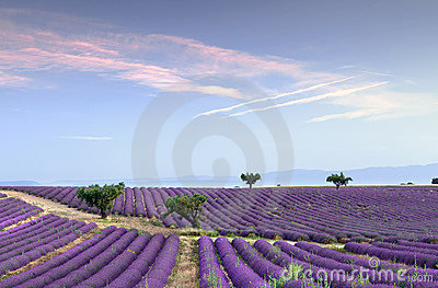 Endless rows of lavender
