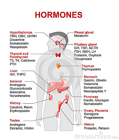 Free Endocrine Gland And Hormones Royalty Free Stock Photography - 72324437