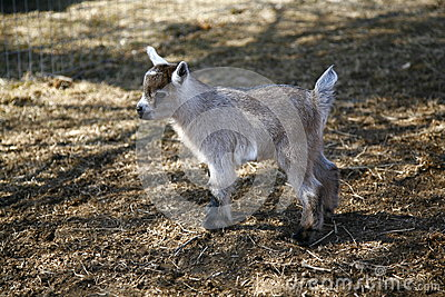 Enfant nain nigérien de chèvre