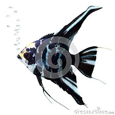Engelsfische mit Luftblasen