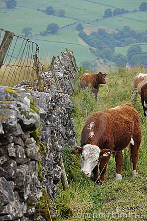 Englische Landschaft, Kühe, Gras, Zaun