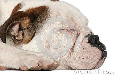 English Bulldog, 5 and a half months old, lying