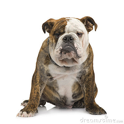 English Bulldog (6 Months) Stock Photos - Image: 5878023