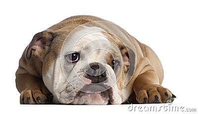 English Bulldog, 7 months old