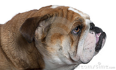 English Bulldog close-up, 18 months old,