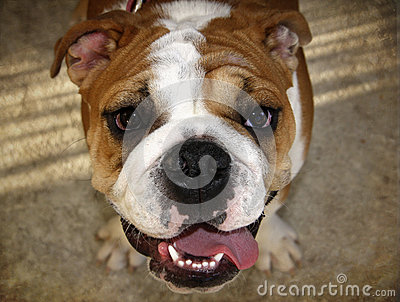 English Bulldog Portrait from above