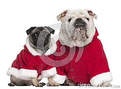 English Bulldog And Pug Wearing Santa Outfits Royalty Free
